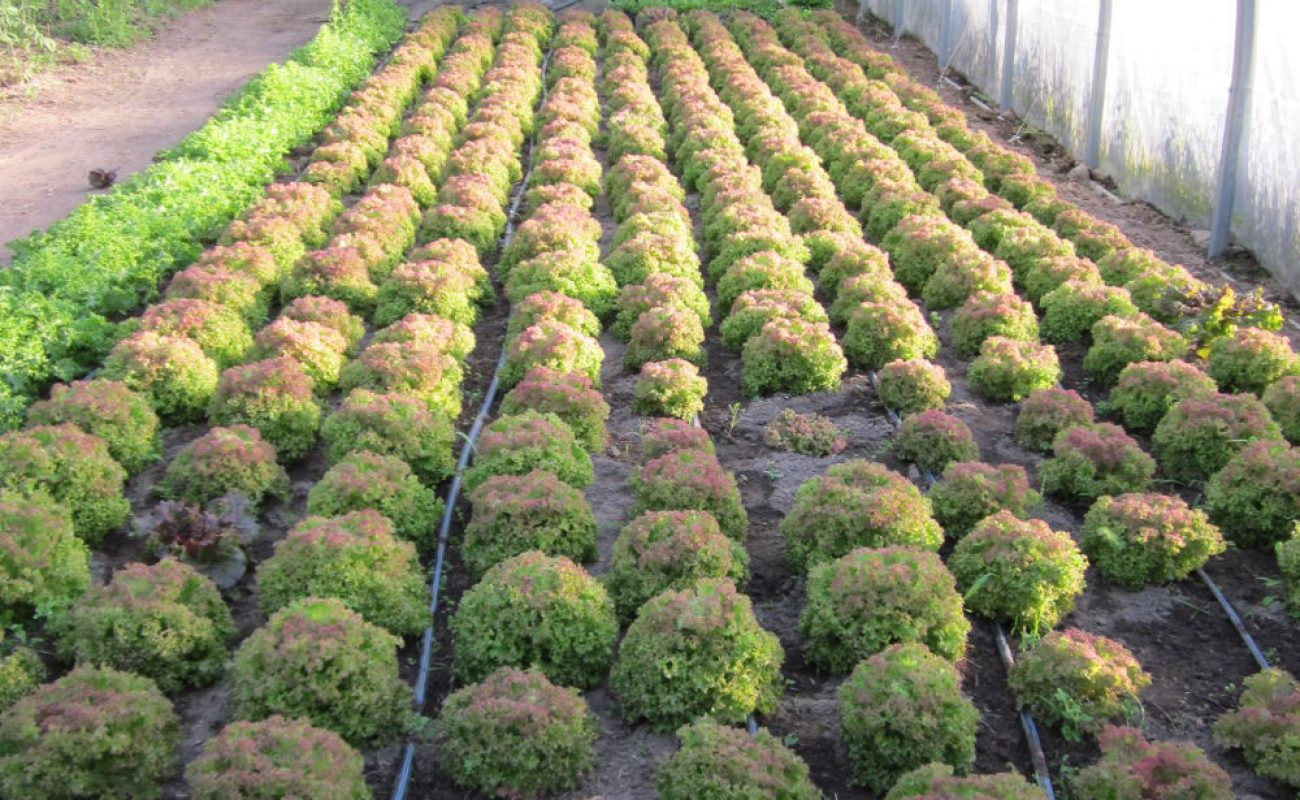 Vermehrungsbestand von Salat 'Lollo Rossa'