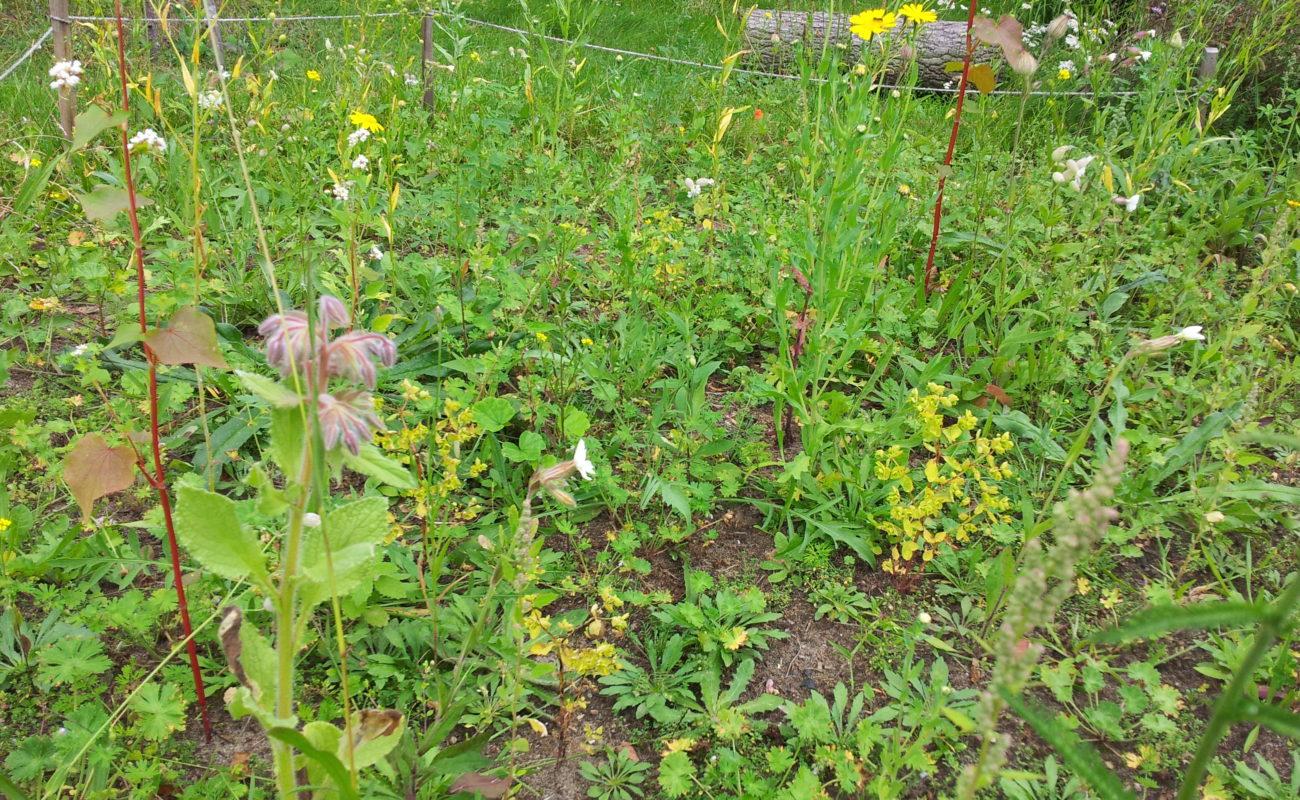 Bienenweide 10 Wochen nach Ansaat