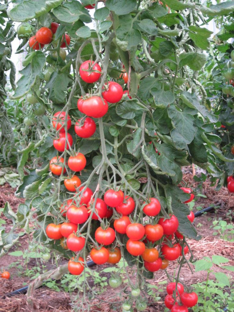 "Tomate ""Aurora"""